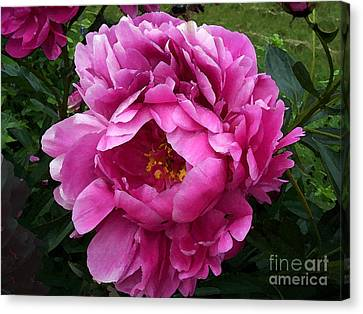 Beautiful Bright Pink Frilly Peony Canvas Print by Maureen Tillman