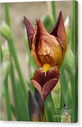 Beautiful Brown Bearded Iris Canvas Print by Brenda Brown