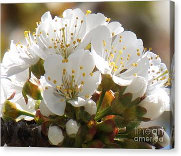 Beautiful Cherry Blossoms Canvas Print by Brenda Brown