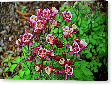 Beautiful Columbine   Canvas Print by Ed  Riche