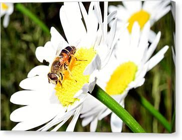 Beautiful Daisy Flower Canvas Print