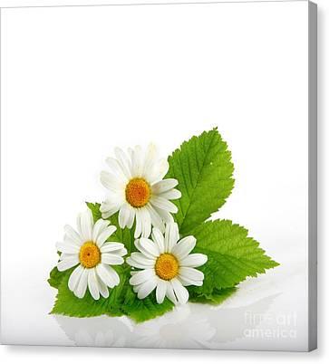 Beautiful Daisy Flowers Canvas Print