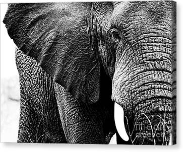 Beautiful Elephant Black And White 1 Canvas Print