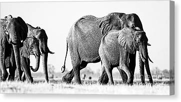 Beautiful Elephant Black And White 55 Canvas Print
