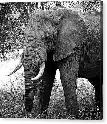 Beautiful Elephant Black And White 59 Canvas Print