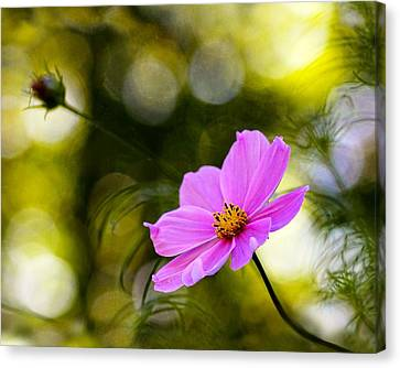 Canvas Print featuring the photograph Beautiful Evening Pink Cosmos Wildflower by Tracie Kaska