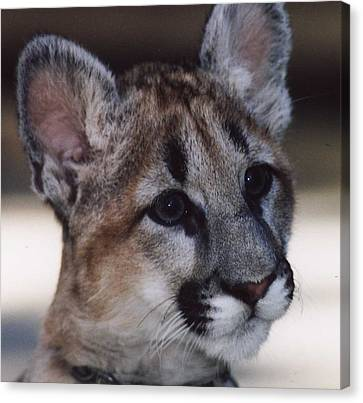 Beautiful Face-cougar Cub Canvas Print by Myrna Walsh