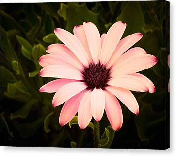 Beautiful Flower  Canvas Print by Trace Kittrell