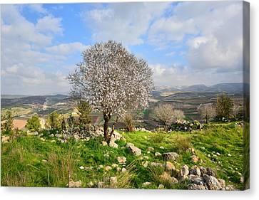 Beautiful Flowering Almond Tree Canvas Print