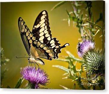 Beautiful Golden Swallowtail Canvas Print by Cheryl Baxter