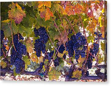 Grapevines Canvas Print - Beautiful Grape Harvest by Garry Gay