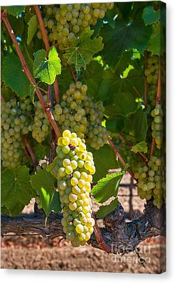Beautiful Grapes From Wine Vineyards In Napa Valley California. Canvas Print by Jamie Pham