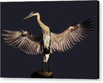 Beautiful Great Blue Heron - # 16 Canvas Print by Paulette Thomas
