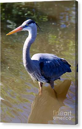 Beautiful Great Blue Heron In Swamp Canvas Print by Carol Groenen
