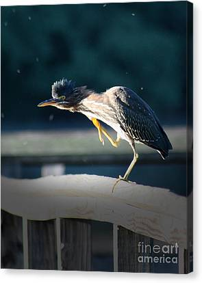 Canvas Print featuring the photograph Beautiful Green Heron by Anita Oakley