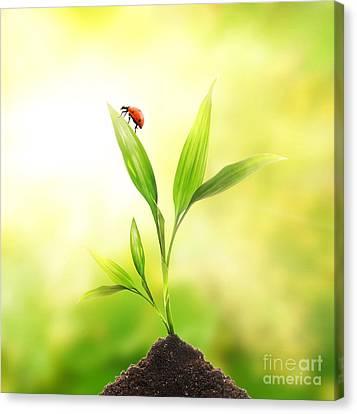 Beautiful Ladybug Canvas Print by Boon Mee