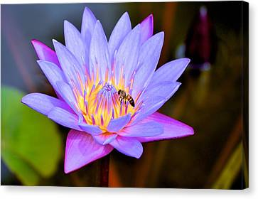 Beautiful Lily And Visiting Bee Canvas Print by Kristina Deane
