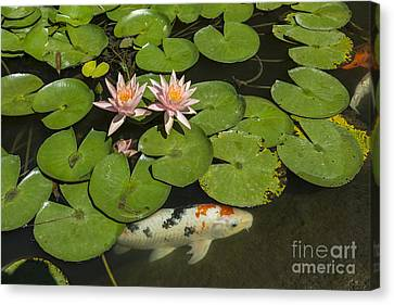 Beautiful Lily Pond With Pink Water Lilies In Bloom With Koi Fis Canvas Print