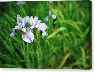 Beautiful Louisiana Hybrid Iris Canvas Print by Marianne Campolongo