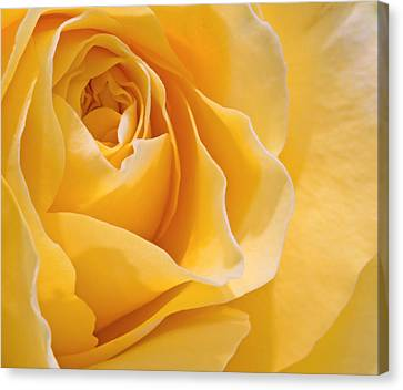 Beautiful Macro Close Up Of Fresh Sprring Rose Flower With Vibra Canvas Print by Matthew Gibson