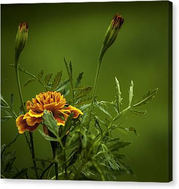 Beautiful Marigold Canvas Print by Jean-Jacques Thebault