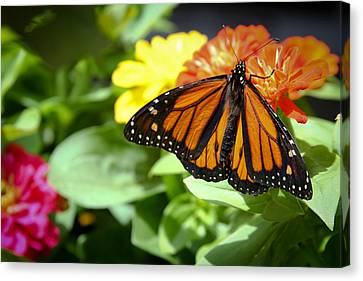 Beautiful Monarch Butterfly Canvas Print by Patrice Zinck