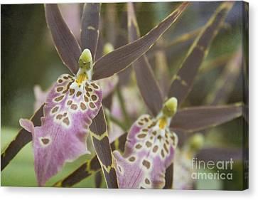 Beautiful Mtssa. Shelob 'tolkien' - Orchids - Mericlone  Canvas Print by Sharon Mau