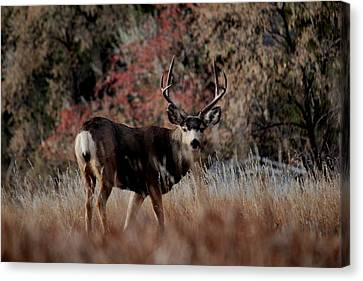 Beautiful Muley Canvas Print