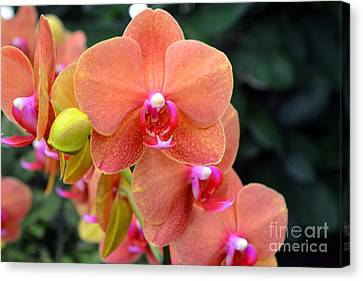 Beautiful Orchids Canvas Print by Anne Marie Corbett