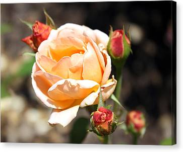 Canvas Print featuring the photograph Beautiful Peach Orange Rose by Ellen Tully