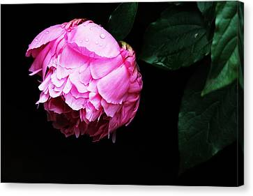 Beautiful Peony Canvas Print by Trina  Ansel