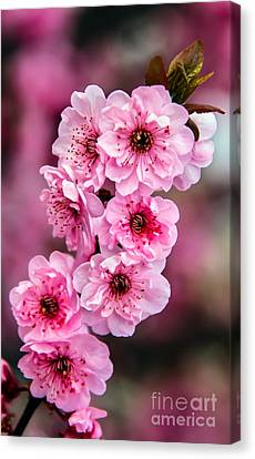 Beautiful Pink Blossoms Canvas Print by Robert Bales