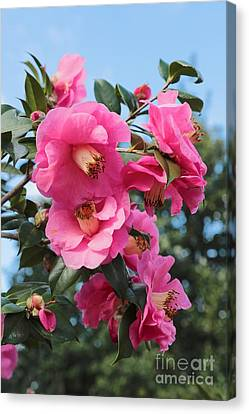 Beautiful Pink Camellias Canvas Print