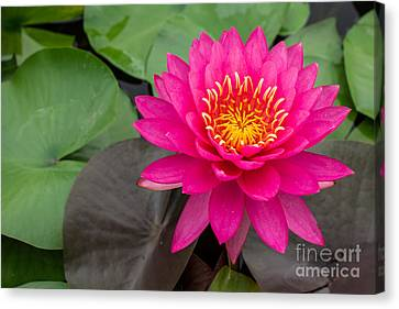 Waterlilies Canvas Print - Beautiful Pink Waterlily by Tosporn Preede