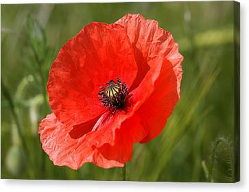 Beautiful Poppies 7 Canvas Print