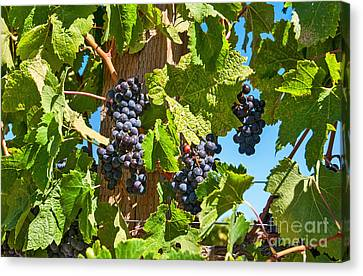 Beautiful Purple Grapes From Wine Vineyards In Napa Valley California. Canvas Print