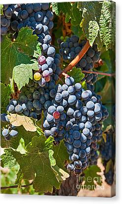 Beautiful Purple Grapes In Wine Vineyards In Napa Valley In California. Canvas Print by Jamie Pham
