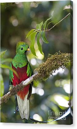 Beautiful Quetzal 1 Canvas Print by Heiko Koehrer-Wagner