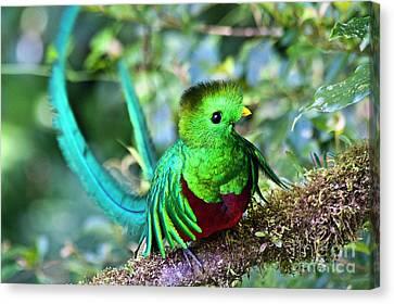 Beautiful Quetzal 5 Canvas Print by Heiko Koehrer-Wagner
