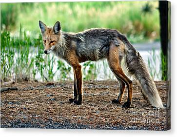 Beautiful Red Fox Canvas Print by Robert Bales