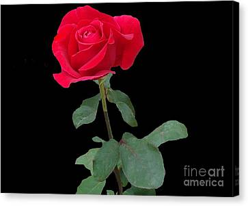 Beautiful Red Rose Canvas Print by Janette Boyd