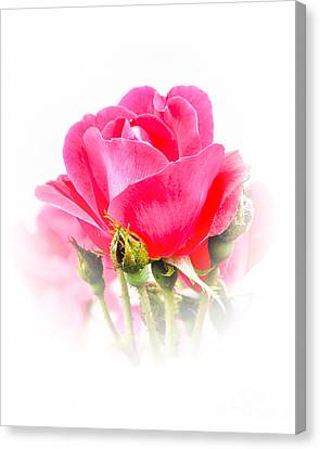 Canvas Print featuring the photograph Beautiful Rose by Anita Oakley