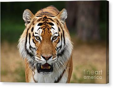 Beautiful Siberian Tiger Canvas Print by Boon Mee