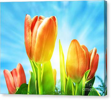 Beautiful Spring Tulips Background Canvas Print by Michal Bednarek