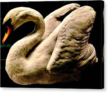 Beautiful Swan 331 Canvas Print by Angela Seager