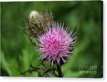 Beautiful Thistle Canvas Print by Theresa Willingham