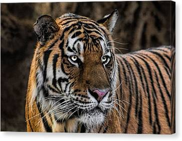 Canvas Print featuring the photograph Beautiful Tiger Photograph by Tracie Kaska