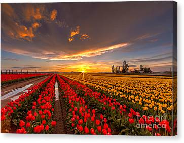 Beautiful Tulip Field Sunset Canvas Print by Mike Reid