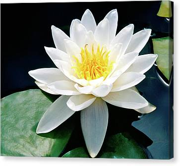 Beautiful Water Lily Capture Canvas Print by Ed  Riche