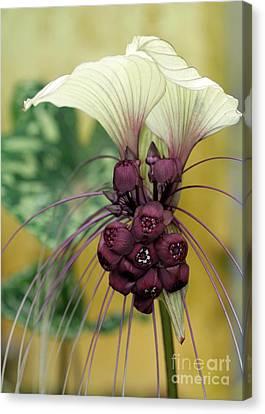 Beautiful White Bat Flower Canvas Print by Sabrina L Ryan